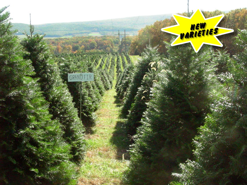 it is our goal to provide high quality christmas trees and wreaths at an affordable price for your enjoyment by competing in the christmas tree and wreath - Middleburg Christmas Tree Farm